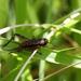 Loxoblemmus - Photo (c) harum.koh, algunos derechos reservados (CC BY-SA)