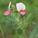 Tephrosia virginiana - Photo (c) Marsh Maiden, μερικά δικαιώματα διατηρούνται (CC BY-NC)