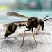 Eumenes papillarius - Photo (c) olha_tomchenko, μερικά δικαιώματα διατηρούνται (CC BY-NC)