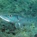 Μπαρακούντα - Photo (c) Kevin Bryant, μερικά δικαιώματα διατηρούνται (CC BY-NC-SA)