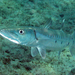 Great Barracuda - Photo (c) Kevin Bryant, some rights reserved (CC BY-NC-SA)