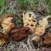 Gyromitra californica - Photo (c) stellar_viscera, algunos derechos reservados (CC BY-NC)