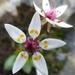 Micranthes stellaris - Photo (c) tapaculo99, algunos derechos reservados (CC BY-NC)