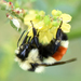 Hunt's Bumble Bee - Photo (c) Steven Mlodinow, some rights reserved (CC BY-NC)