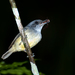 Plain Antvireo - Photo (c) Dario Sanches, some rights reserved (CC BY-SA)