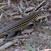 Six-lined Racerunner - Photo (c) Lori Owenby, some rights reserved (CC BY-NC)