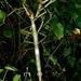 Pharnacia ponderosa - Photo (c) Albert Kang, algunos derechos reservados (CC BY-NC)