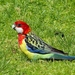 Eastern Rosella - Photo (c) chrisc, some rights reserved (CC BY-NC)