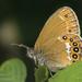 Coenonympha hero - Photo (c) Kars Veling, μερικά δικαιώματα διατηρούνται (CC BY)