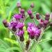 Vernonia missurica - Photo (c) Jeff Skrentny,  זכויות יוצרים חלקיות (CC BY-NC)
