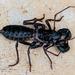 Mastigoproctus floridanus - Photo (c) cyric, μερικά δικαιώματα διατηρούνται (CC BY-NC-SA), uploaded by cyric