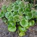 Farfugium japonicum - Photo (c) Phil Bendle,  זכויות יוצרים חלקיות (CC BY-NC)