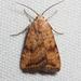 Triplex Cutworm Moth - Photo (c) Ken-ichi Ueda, some rights reserved (CC BY)
