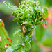 Ceanothus Bud Gall Midge - Photo (c) Ken-ichi Ueda, some rights reserved (CC BY)