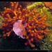 Myriapora truncata - Photo (c) Christophe Quintin, μερικά δικαιώματα διατηρούνται (CC BY-NC)