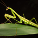 Tenodera sinensis - Photo (c) Ryosuke Kuwahara, algunos derechos reservados (CC BY-NC)