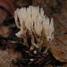 Tremellodendropsis tuberosa - Photo (c) birdgal5,  זכויות יוצרים חלקיות (CC BY-NC-ND)