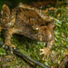 Hochstetter's Frog - Photo (c) Shaun Lee, some rights reserved (CC BY)