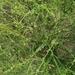 Cycloloma atriplicifolium - Photo (c) wsimmons, algunos derechos reservados (CC BY-NC)