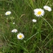 Smooth Fleabane - Photo (c) Pat Deacon, some rights reserved (CC BY-NC)