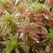 Sphagnum quinquefarium - Photo (c) Christian Berg, algunos derechos reservados (CC BY)