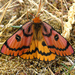 Western Sheep Moth - Photo (c) Rick C. West, some rights reserved (CC BY-NC)