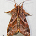 Florida Fern Moth - Photo (c) David Dodd, some rights reserved (CC BY)