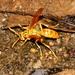 Polistes olivaceus - Photo (c) sk2, algunos derechos reservados (CC BY-NC)