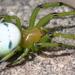 Araneus pentagrammicus - Photo (c) harum.koh,  זכויות יוצרים חלקיות (CC BY-SA)