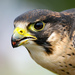 Falcons and Caracaras - Photo (c) David Forster, some rights reserved (CC BY-ND)