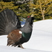 Western Capercaillie - Photo (c) Christoph Moning, some rights reserved (CC BY)