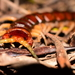 Phillip Island Centipede - Photo (c) Daniel Terrington, some rights reserved (CC BY-NC)