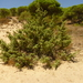 Large-fruited Juniper - Photo (c) José Luis Romero Rego, some rights reserved (CC BY-NC)