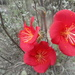 Hibiscus longifilus - Photo (c) Leticia Soriano, some rights reserved (CC BY-NC), uploaded by Leticia Soriano Flores