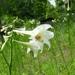 Lilium philippinense - Photo (c) Laura Clark,  זכויות יוצרים חלקיות (CC BY)