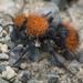 Dasymutilla californica - Photo (c) Ian Marsman, algunos derechos reservados (CC BY-NC)