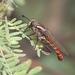 Stratiomydas - Photo (c) Pierre Deviche, μερικά δικαιώματα διατηρούνται (CC BY-NC)