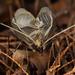 Meloimorpha japonica - Photo (c) Ryosuke Kuwahara, algunos derechos reservados (CC BY-NC)