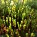 Polytrichum strictum - Photo (c) Scott Schuette, algunos derechos reservados (CC BY-NC)