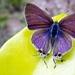 Hypolycaena philippus - Photo (c) dotun55, algunos derechos reservados (CC BY-NC)