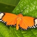 Calodesma - Photo (c) Steven Easley, algunos derechos reservados (CC BY-NC)