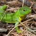 Lagarto Verde de Los Balcanes - Photo (c) Petr Kouba, algunos derechos reservados (CC BY)