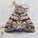 Panthea furcilla - Photo (c) Ken-ichi Ueda, algunos derechos reservados (CC BY)