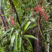 Aechmea bracteata - Photo (c) B Mlry, some rights reserved (CC BY-NC-ND)