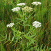 Greater Water-Parsnip - Photo (c) Natural  England, some rights reserved (CC BY-NC-ND)