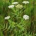 Sium latifolium - Photo (c) Natural  England,  זכויות יוצרים חלקיות (CC BY-NC-ND)