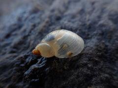 Australian Amber Snail