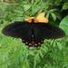Mariposa Corazón de Moctezuma - Photo (c) Jorge Vargas Ramírez, algunos derechos reservados (CC BY-NC)