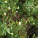 Limnophila - Photo (c) siddarthmachado, algunos derechos reservados (CC BY-NC)