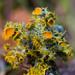 Golden-eye Lichen - Photo (c) Ken-ichi Ueda, some rights reserved (CC BY)